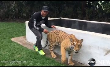 Lewis Hamilton Startles A Tiger And Lives…For Now